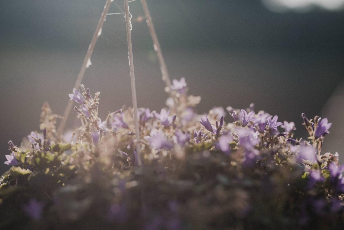 Blumen,lila Blüten,Hängeblumentopf
