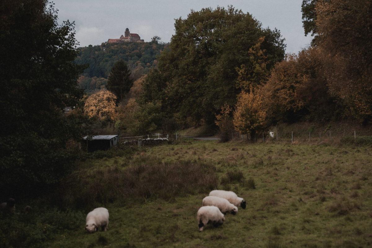 Schafe,Weide,Wiese,Bäume,herbstlich,Burg