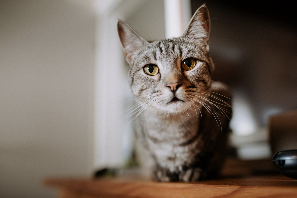 Katze, Tiger, getigert, Katzenaugen, Blick