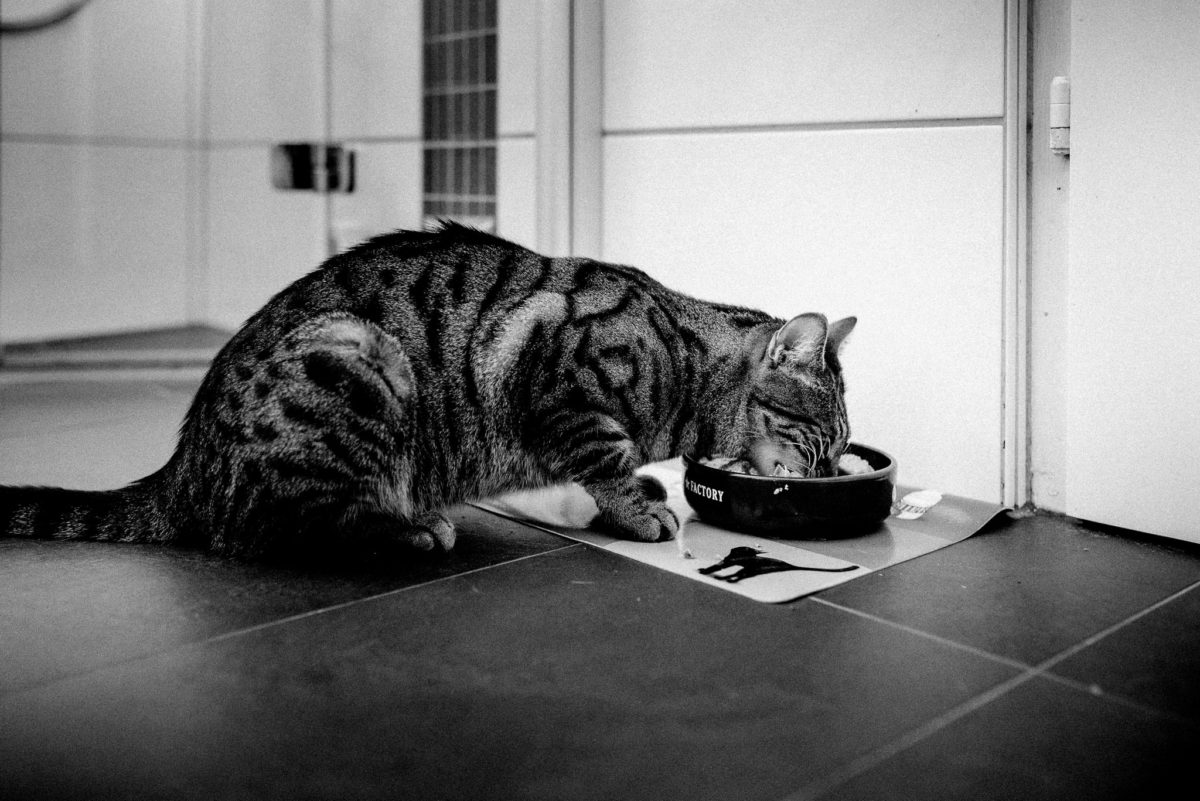 Katze, Katzenfutter, fressen, Tiger, getigert, Napf